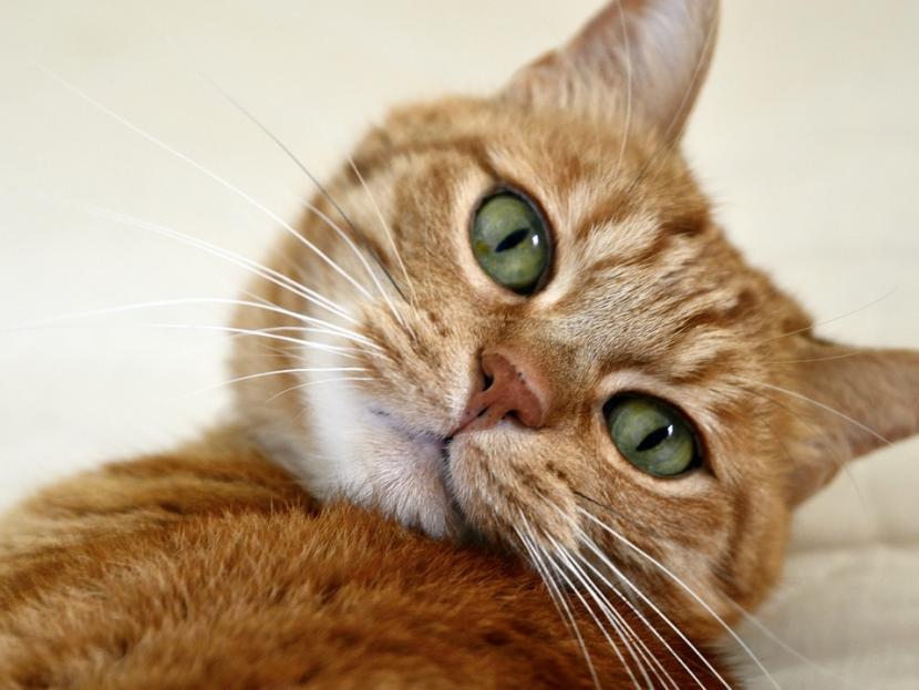 Gato naranja de ojos verdes