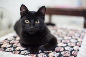 Gato negro descansando
