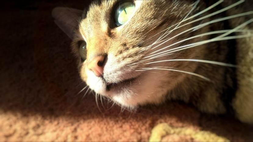 Por qué los gatos no pueden comer azúcar