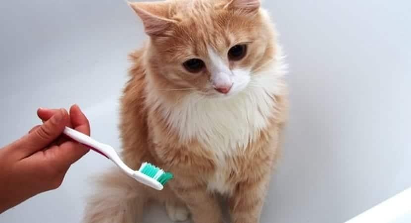 El sarro en los dientes del gato