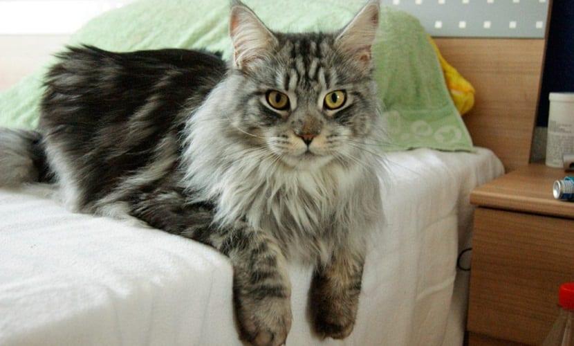 El cáncer también afecta a los gatos