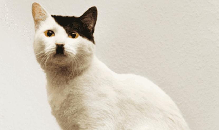 Gato Kitlers o más conocido como Hitler Cats