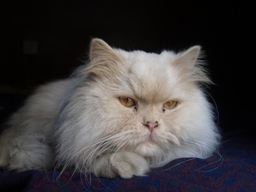 Gato persa blanco