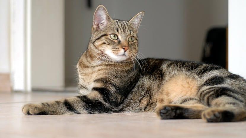 Nuevas razas de gatos en desarrollo