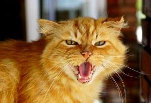 Agresividad de los gatos hacia las personas