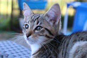 Los síntomas de la alergia a los gatos son estornudos y picor en los ojos