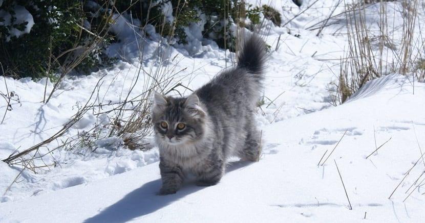 El bosque de Siberia o gato siberiano
