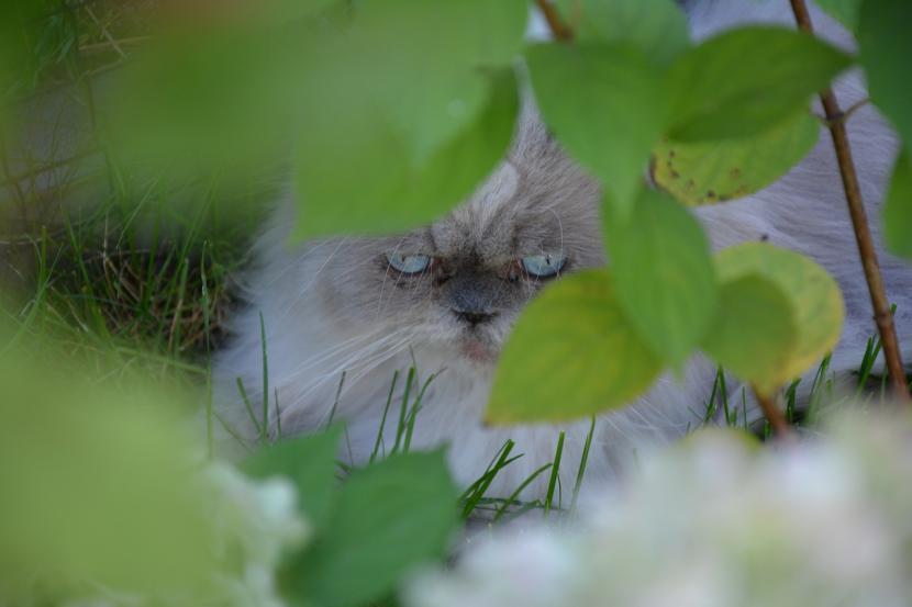 Comprar gato persa