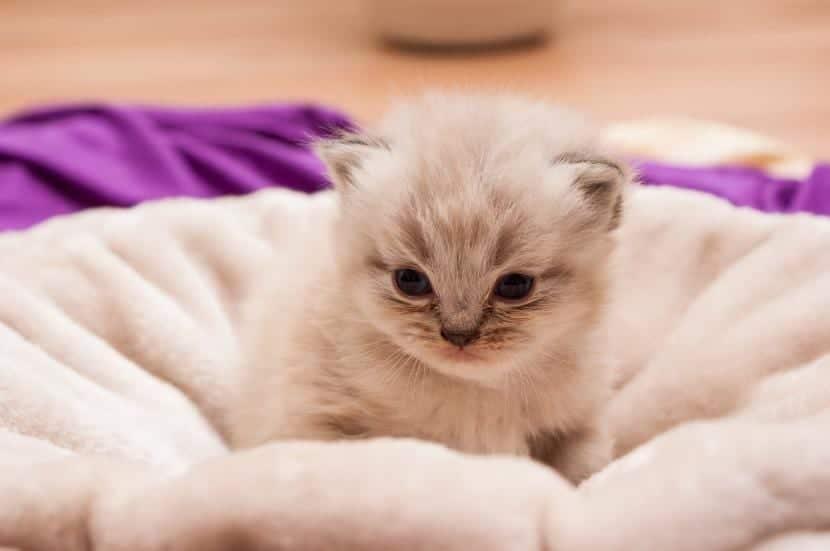 Cría de gato persa