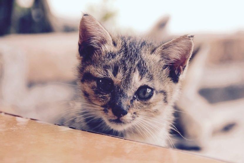 El gatito que no come debe ser llevado al veterinario lo antes posible