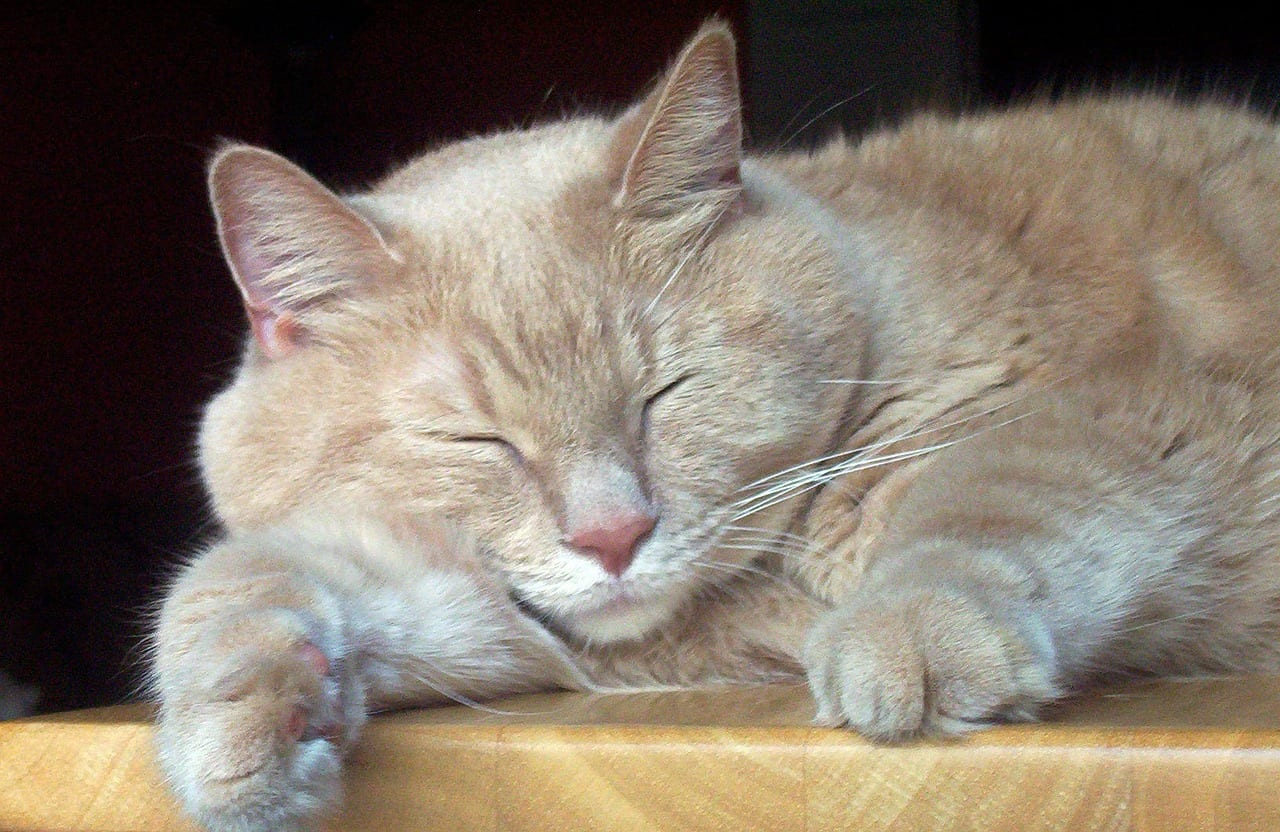 gato naranja tiembla al dormir