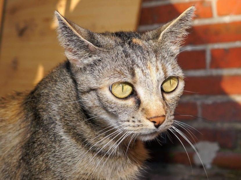 Gato con hipertiroidismo