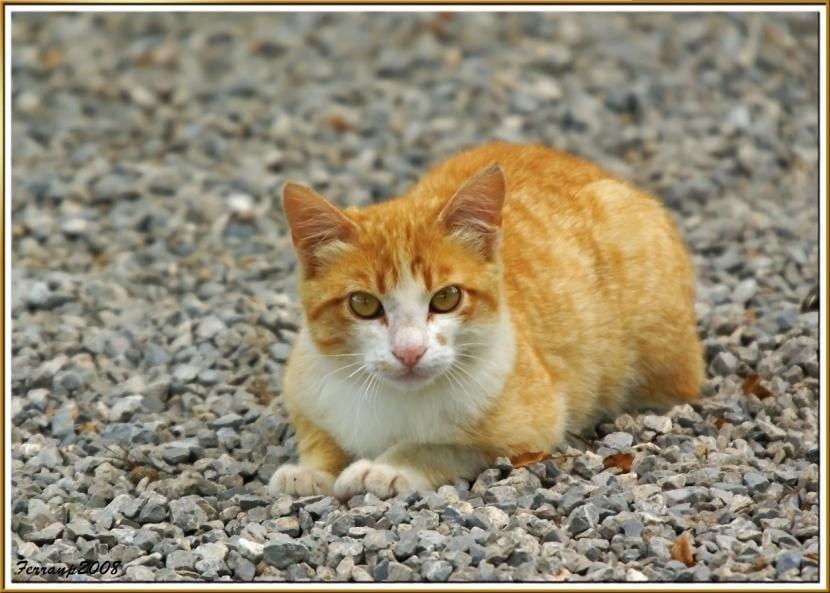 Gato callejero naranja y blanco
