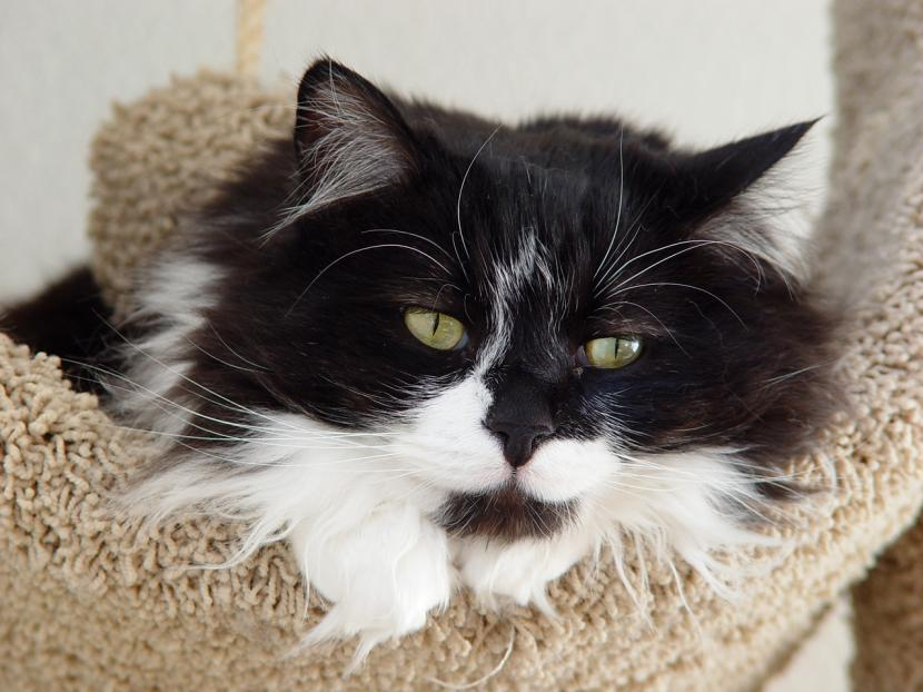 Gato bicolor de pelo largo