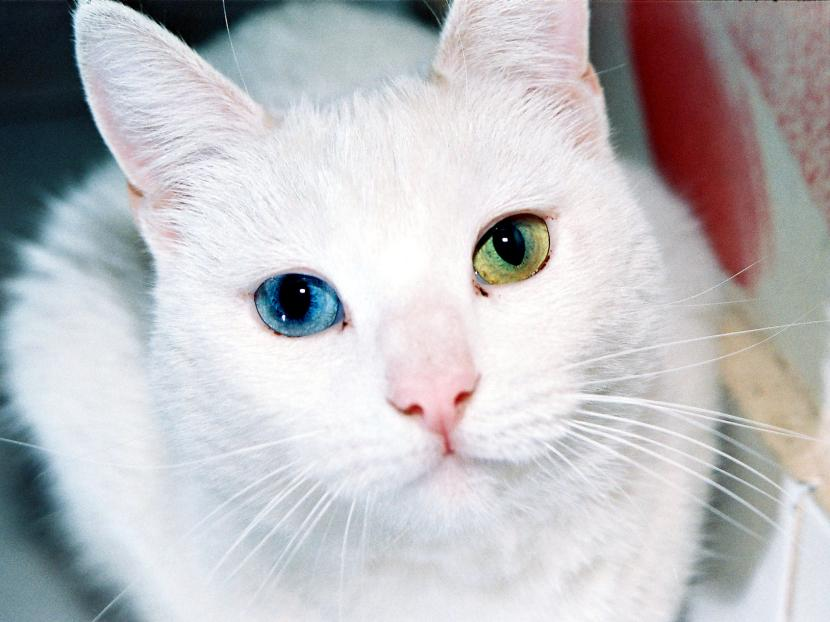 Gata blanca con ojos dispares