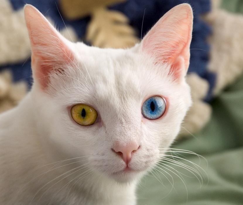Gato con ojos de cada color