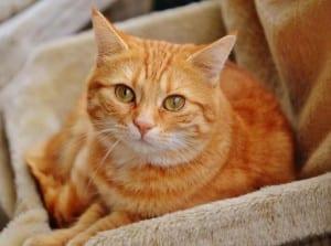 Gato naranja sociable