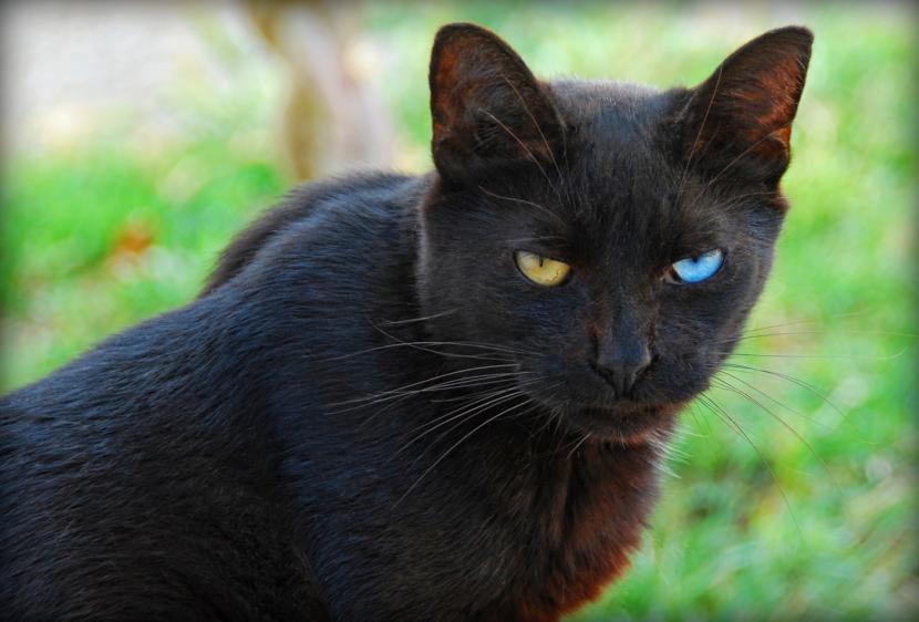 Gato negro con ojos dispares