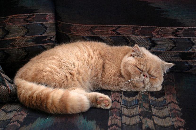 Gato persa durmiendo