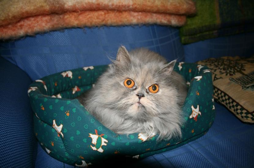 Gato persa en su cama