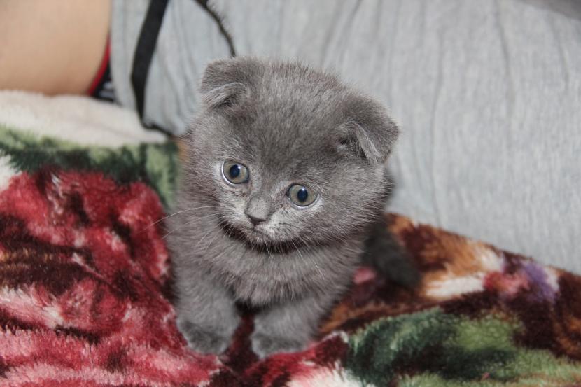 Gato persa joven de color gris