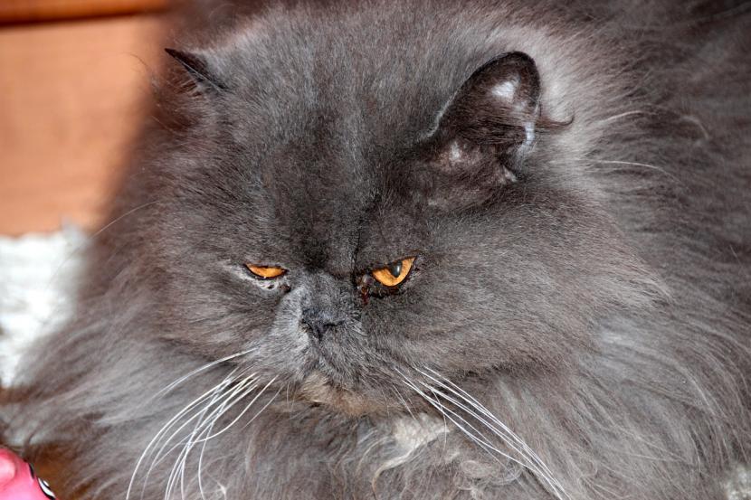 Gato persa de color gris