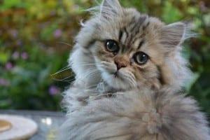 Los gatos persas pueden tener enfermedades congénitas