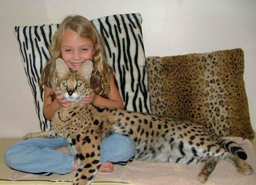 Gato Savannah con una niña