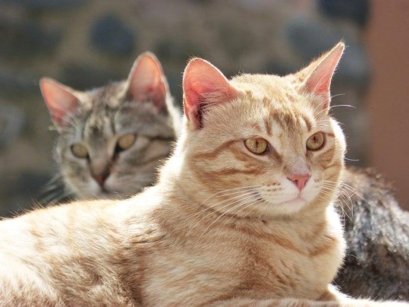 Los gatos son animales poco habladores
