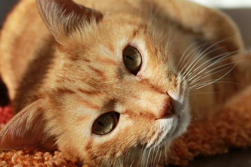 Cómo saber si mi gato tiene parvovirus