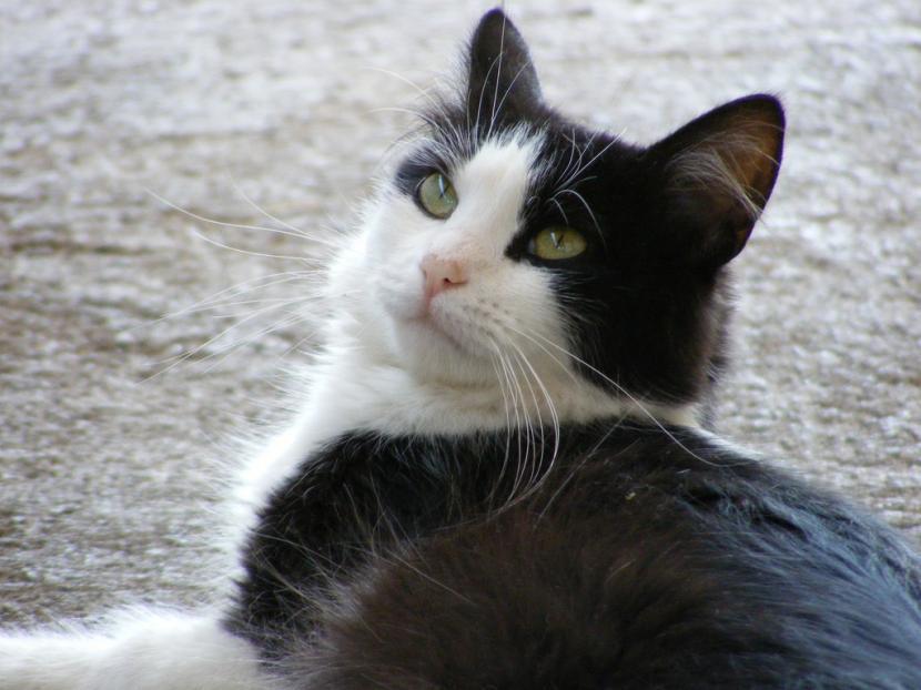 Por qué tiemblan los gatos