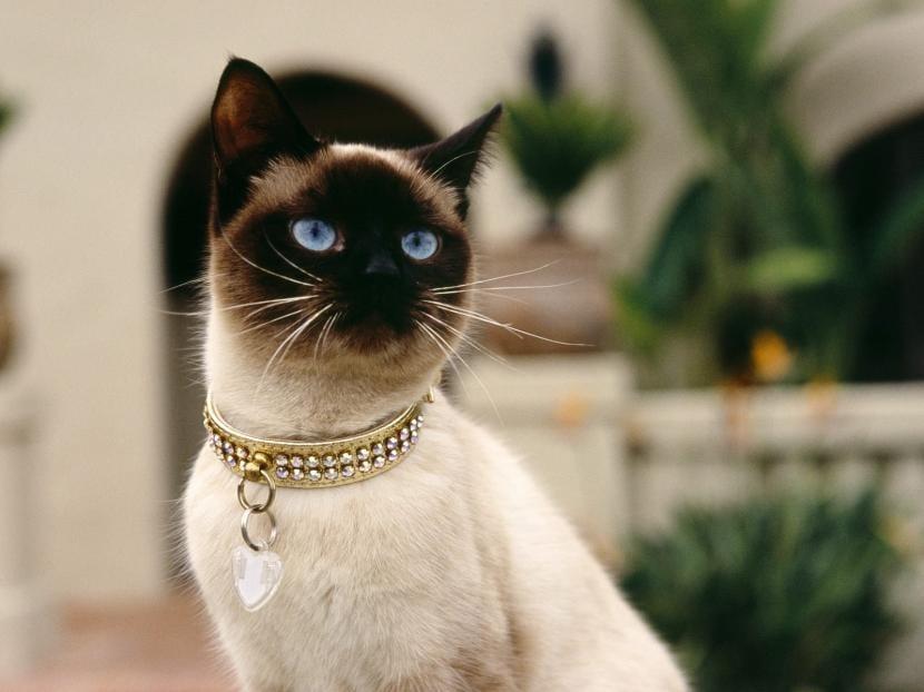 Cómo es un gato siamés