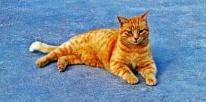 Gato con leucemia felina
