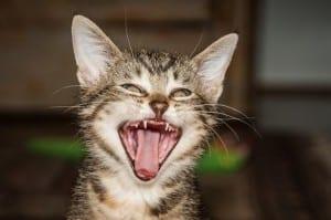 Cómo tratar la gingivitis en gatos