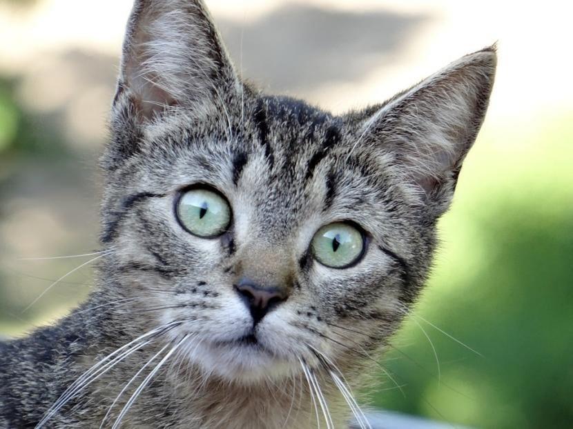 Gatito común europeo