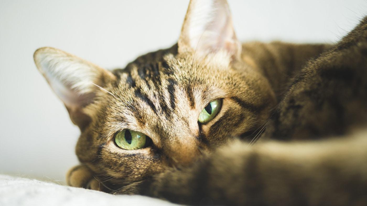 Los gatos pueden ser picados por mosquitos