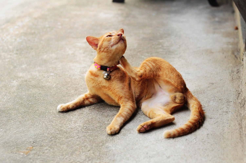 Los mosquitos causan picor a los gatos