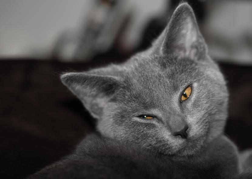 Cómo es el gato Chartreux