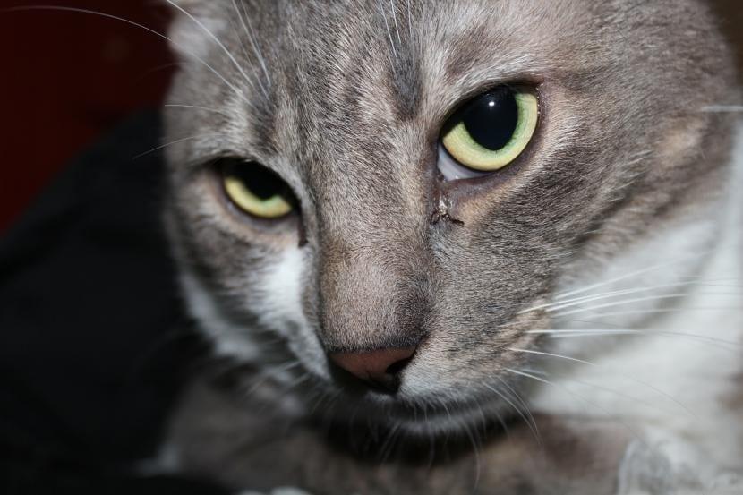 Gato gris joven