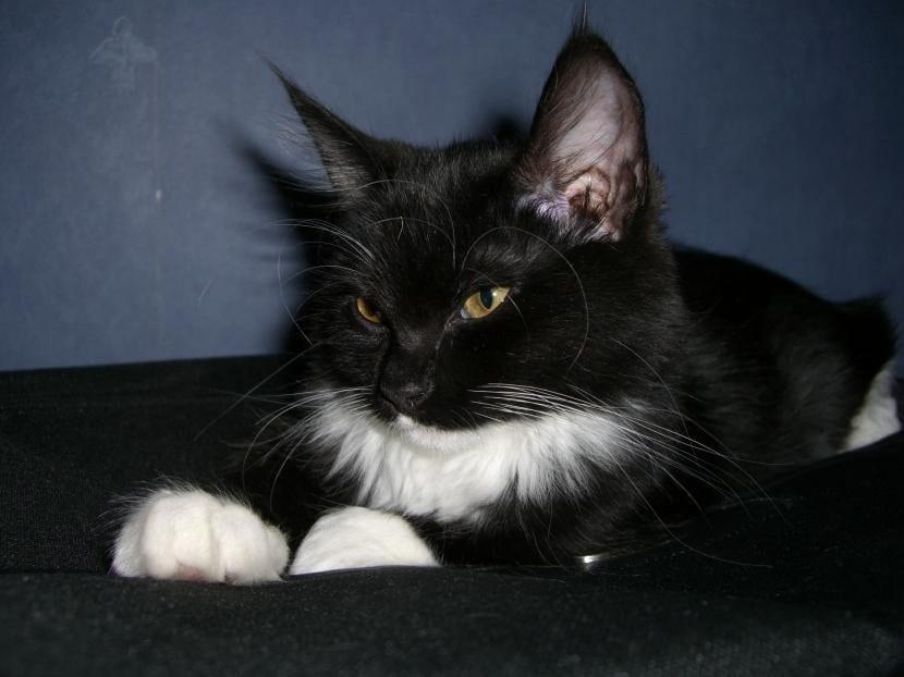 Citas y refranes de gatos