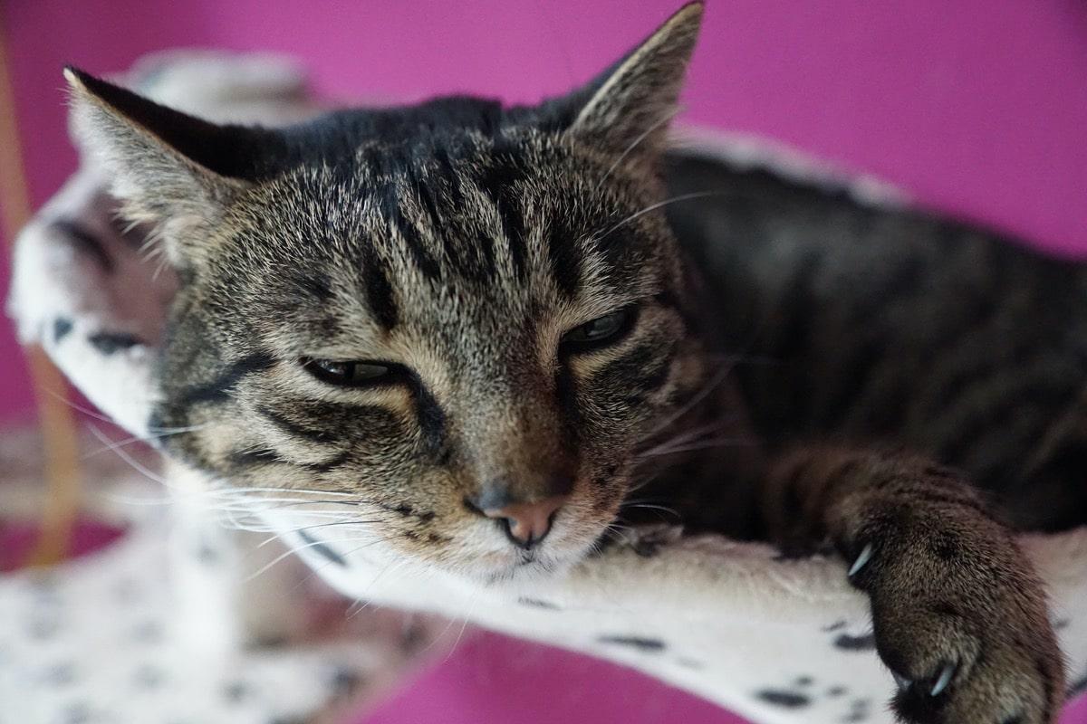 Lleva a tu gato al veterinario si tiene un problema de gases