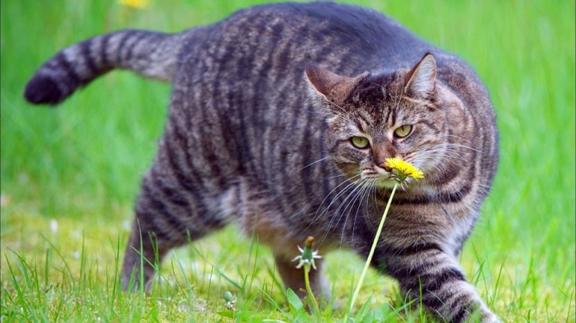 Gato atigrado obeso