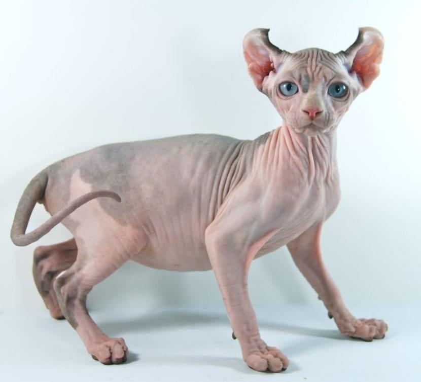Gato elfo