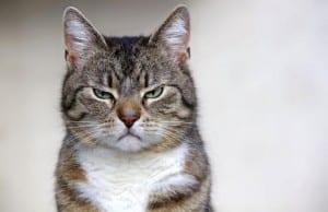 Gato estresado