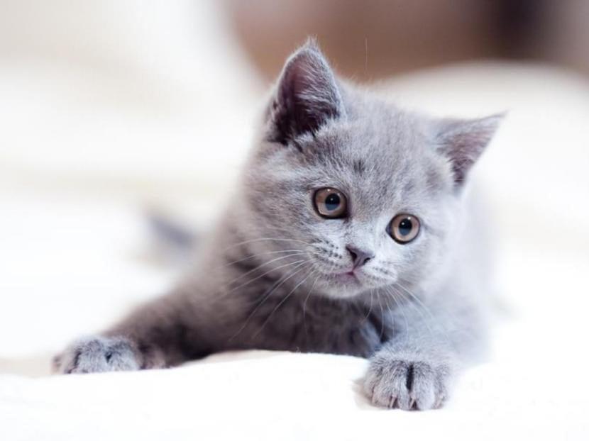 Gato gris cachorro