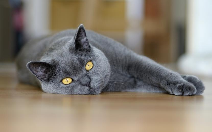 Gato gris tranquilo