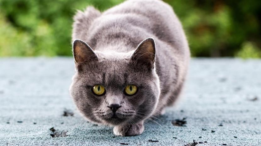Gato listo para atacar