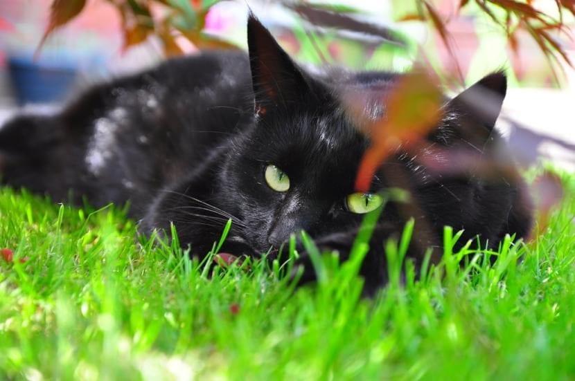 Gato negro oculto
