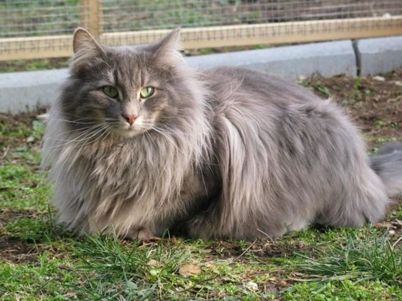 Gato noruego gris