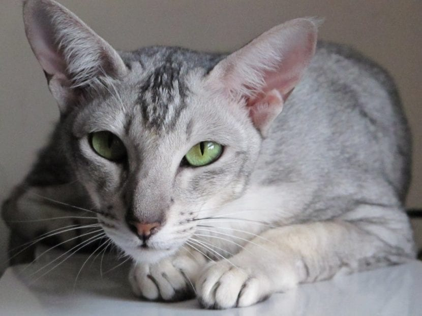 Gato oriental de pelo corto